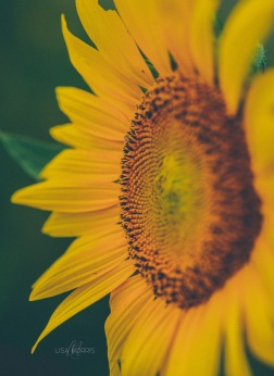 Sunflowers_03