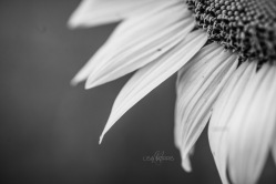 Sunflowers_07